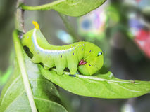 Caterpillar green cobra. Stock Photography