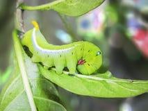 Caterpillar green cobra. Stock Photography