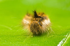Caterpillar on a green leaf Stock Photos