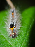Caterpillar on green leaf. This photo of colorful and pretty hairy caterpillar crawling on green leaf was taken in the woods Stock Images