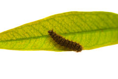 Caterpillar on the green leaf. Barbed worm on the green leaf - Gypsy Moth Lymantria Dispar Royalty Free Stock Photos