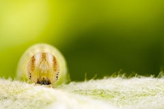 Caterpillar on a green leaf. A macro picture of a small greenish or yellowish caterpillar on a green grass leaf. This caterpillar is a food for small birds such royalty free stock images