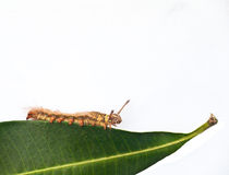 Caterpillar on green leaf Royalty Free Stock Photos