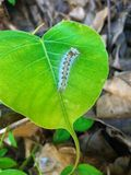 Caterpillar on a green leaf Royalty Free Stock Image