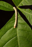 Caterpillar on green leaf Stock Photography