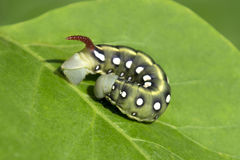 Green Hawk moth caterpillar Stock Images