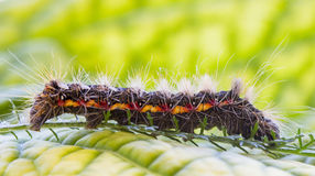 Caterpillar on green leaf close up macro Royalty Free Stock Photos