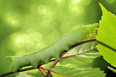 Caterpillar on green leaf. Royalty Free Stock Images