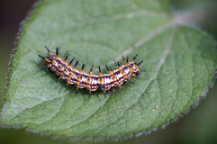 Caterpillar on green leaf Royalty Free Stock Image