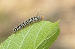 a caterpillar on green leaf, macro Stock Photo