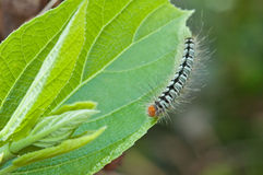 A caterpillar on green leaf, macro Royalty Free Stock Photos