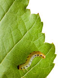 Caterpillar on green leaf Royalty Free Stock Photography