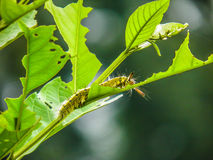 Caterpillar on green leaf tree. With green background Stock Photo