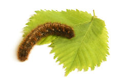 Caterpillar with green leaf Royalty Free Stock Photography