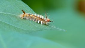 Caterpillar on a green leaves. stock video