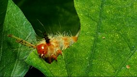 Caterpillar on a green leaves. stock video footage