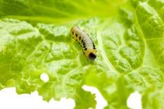 Caterpillar on green lettuce isolated on white Stock Photos