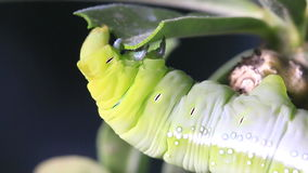 Caterpillar, green worm is eating leaf stock video