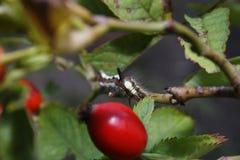 Caterpillar. Grey Dagger caterpillar eating leaves on rose hip bush Royalty Free Stock Photography
