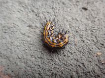 Caterpillar of gulf fritillary on passion fruit leaf with gray background royalty free stock image