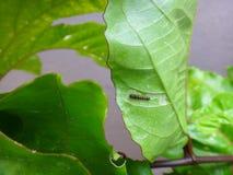 Caterpillar of gulf fritillary on passion fruit leaf with jute background. Gulf fritillary, passion butterfly or dione juno juno. Gulf fritillary caterpillar Stock Image
