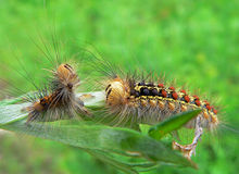Caterpillar of Gypsy Moth. Haired caterpillar of gypsy moth on  rod opposite its old skin after moult. Russian Far East Royalty Free Stock Image