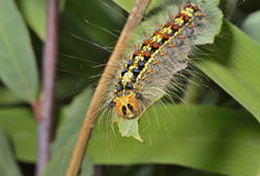 Caterpillar of gypsy moth 5 Stock Image