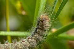 Caterpillar of the Gypsy moth. royalty free stock image