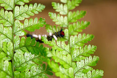 Caterpillar ha infettato del ichneumon Fotografia Stock