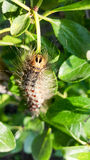 Caterpillar with hair Royalty Free Stock Image