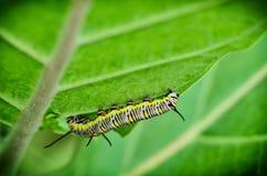 Caterpillar hang on tree. In garden stock photos