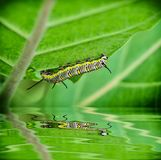 Caterpillar hang on tree. With reflect royalty free stock photography