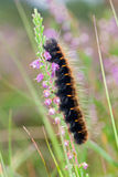 Caterpillar in heather Stock Image
