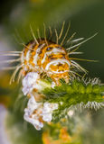 Caterpillar: Heliotropmal Royaltyfri Bild