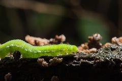 Caterpillar het gemeenschappelijke gele gras Stock Afbeelding