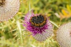 Caterpillar-het slapen Stock Afbeeldingen