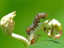Caterpillar-het Stellen Stock Afbeelding