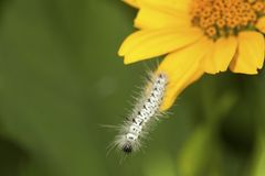 Black and white caterpillar of hickory tussock moth in Connectic Royalty Free Stock Images