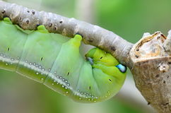 Caterpillar holding Royalty Free Stock Photo