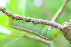 Caterpillar holding Royalty Free Stock Photography