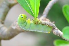 Caterpillar holding Royalty Free Stock Photo