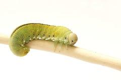 Caterpillar, Housefly Cimbex femorata Royalty Free Stock Photo