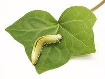 Caterpillar, Housefly Cimbex femorata on a white background Stock Photo