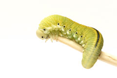 Caterpillar, Housefly Cimbex femorata Stock Photo