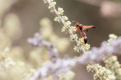 Caterpillar hunting wasp. On a plant branch eating a fly royalty free stock photo