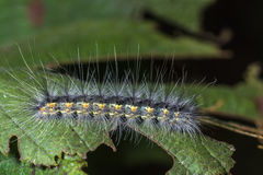 Caterpillar Hyphantria cunea Royalty Free Stock Images