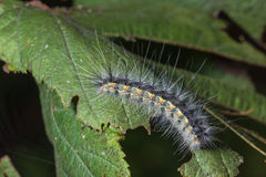 Caterpillar Hyphantria cunea Royalty Free Stock Photo