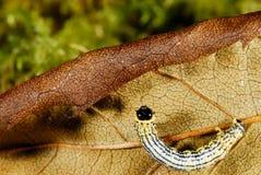 Caterpillar i Fragas gör Eume, en Coruña, Spanien arkivbild