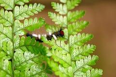 Caterpillar a infecté de l'ichneumon Photographie stock