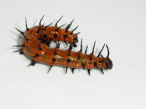 Caterpillar insect. One of these fellow ate all the leaves off of my passion flower plant Royalty Free Stock Image